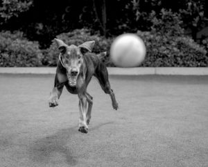 Pet Exercise - Dog Chasing a Ball